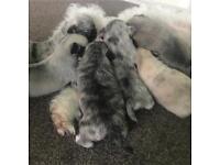 6 chug blue eyes Merle puppies pug x chihuahua