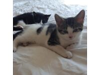 2 Adorable kittens , one male, one female, both 2 moths old