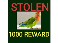 STOLEN lovebird from SE7 1000 REWAED do you know the thief