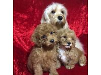 Cavapoo puppies ready now toy poodle small puppy dog bitch non moulting red apricot PRA stunning pup