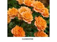 Rose bare root Clementine plants