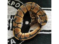 Royal Python. Normal