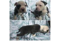 Olde English Bulldogge Puppies 2 Females