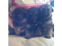kc reg german shepherd pups