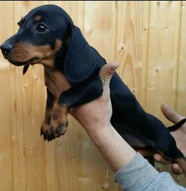 Dachshund Black and Tan miniature boy puppy