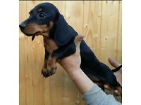 Dachshund Black and Tan miniature boy puppy