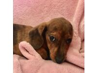 Miniature Dachshund boy puppy