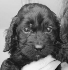 Ready now Stunning Cockapoo puppy