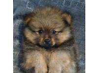 Last Male Pomeranian Puppy