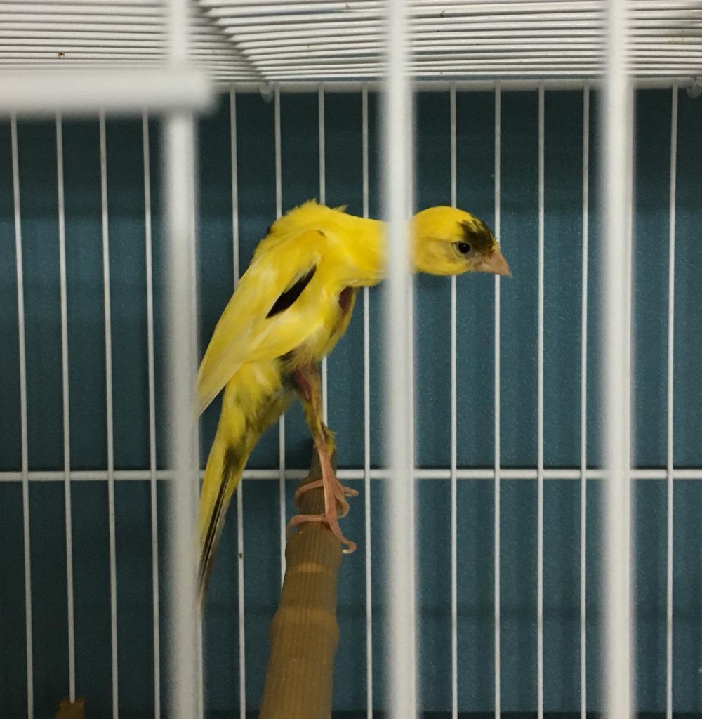 Canaries Gibber italicus
