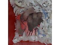 Baby Rats Siames/Himaliyan/White