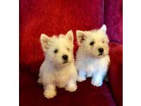 Westie Puppies (West Highland White Terrier)