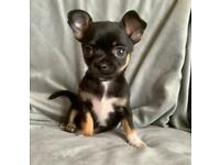 Gorgeous black & tan chihuahua puppy