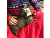 Tortoiseshell Kitten Female