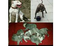 Blue Staffordshire bull terrier pups