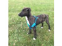 13 week old lurcher puppy