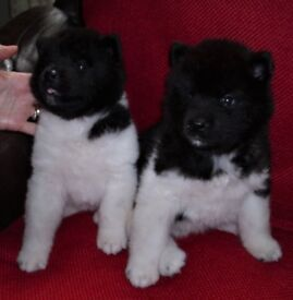 AKITA PUPS,DOGS AND BITCHES