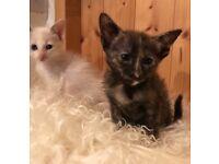 Siamesey kittens girls £150