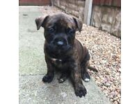 **L@@k Puppies** German Shepherd cross staffy Staffordshire pupps**