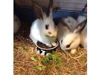 Beautiful Baby Rabbits 8 weeks old