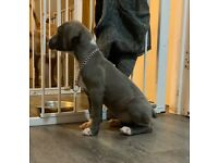 American Xl bully puppies (blue girls left)