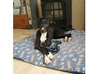 5 month old lurcher puppy