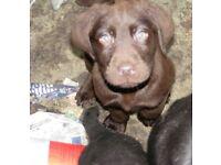 Gorgeous Labrador Pups