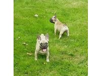 Chocolate Fawn French Bulldogs (Lilac Makers)