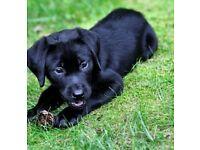 Black labrador female puppy