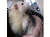Two Lovely Female Ferrets Looking For Forever Homes