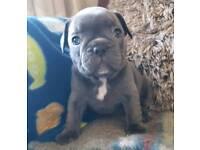 Kc reg frenchie female pups