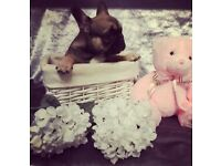 Ready to leave female French bulldog