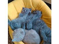 Pure BRITISH shorthair kittens