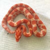 Baby corn snakes for sale by breeder