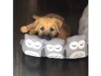 Lovely little lady Border Terrier Cross