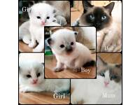 Pure Rag doll kittens