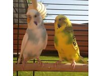 2 beautiful Male budgies for sale - Complete Setup , Birds, Cage, Food, Toys