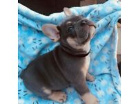 FRENCH BULLDOG LILAC AND TAN MALE HES A STUNNER!