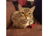 Beautiful Male Pedigree Bengal cat for sale.