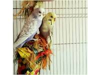 Rehoming: Two budgies with large cage and wide range of toys