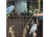 Birds - Budgies for sale
