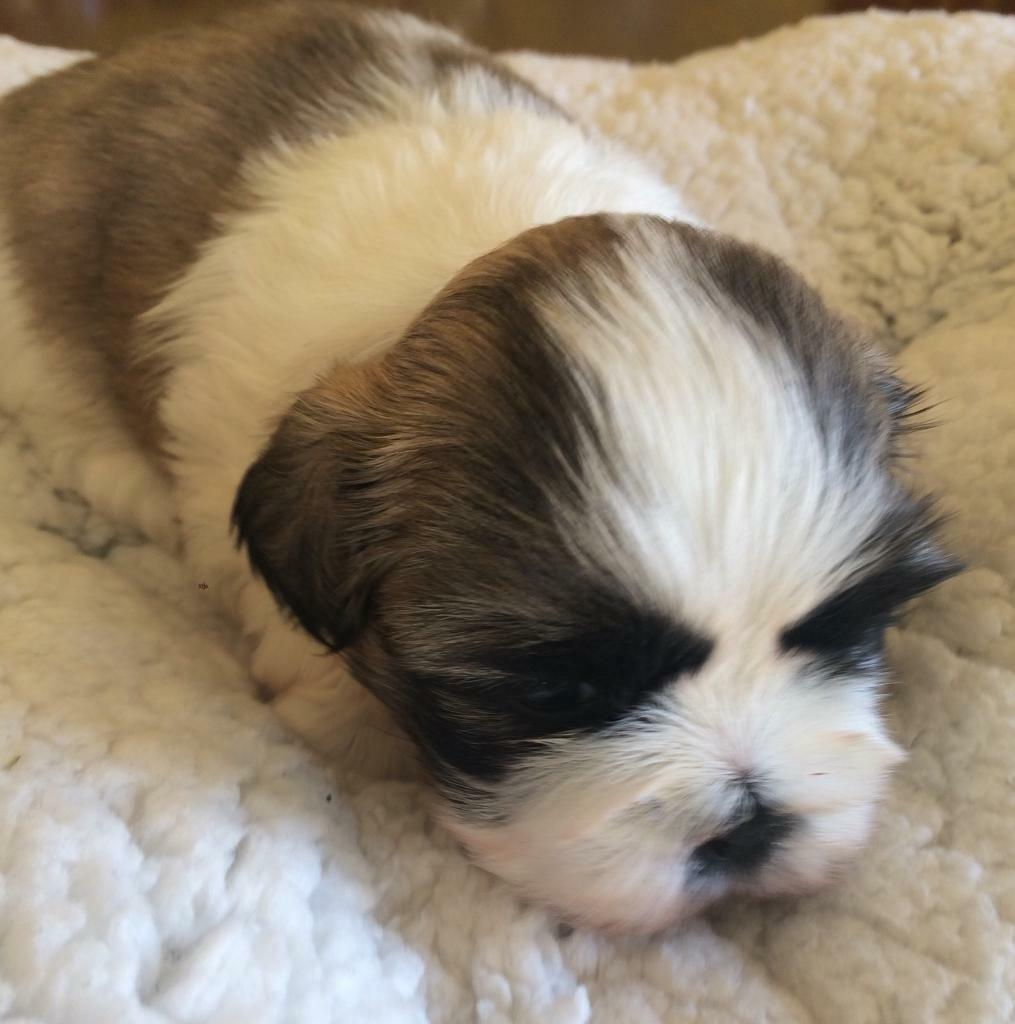 Shih tzu pedigree puppies home reared in llanelli shih tzu pedigree puppies home reared thecheapjerseys Choice Image