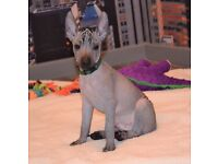 KC reg Mexican Hairless gorgeous male puppy for sale!