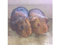 Baby brother guinea pigs looking for forever home