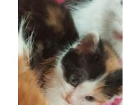 Tabby and tortie kittens