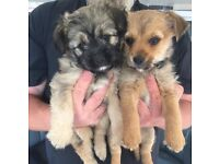 Chihuahua x Yorkshire terrier (chorkie) puppies
