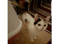 13 week old female kitten for sale with litter tray, food, carrier, toys etc inclusive