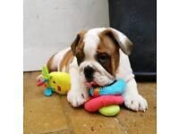 English Bulldog Puppies - Excellent Pedigree