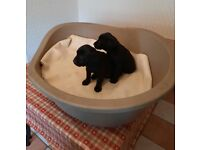 Full bred black Labrador puppies for sale