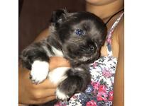Pedigree blue chihuahua pups